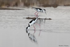 Black Necked Stilts, why did someone not call these pink legged stilts?;)