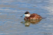 Mr. Ruddy Duck and that beautiful bill...now you see him..