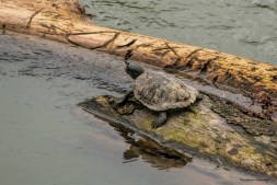 A snapping turtle waiting for some sun