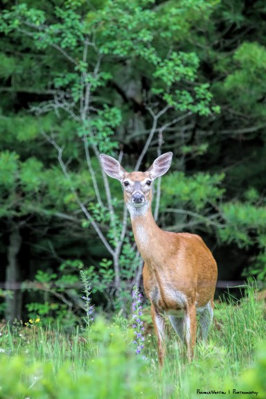 The does are about and the the fawns are deep in the grass