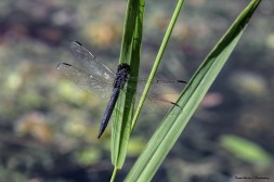 Blue Dragonfly near the lake