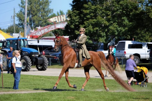 American Saddlebred entering the ring