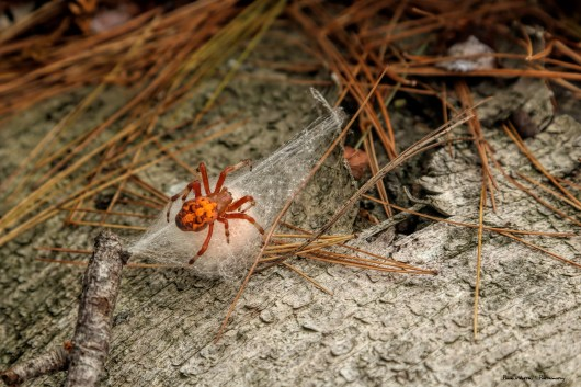 Goodbye beautiful Spotted Orb Weaver spider, see you and your babies in the Spring!