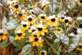 Black Eyed Susans bowing their heads in the snow