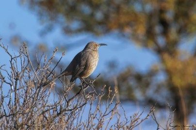 Curve Billed Thrasher
