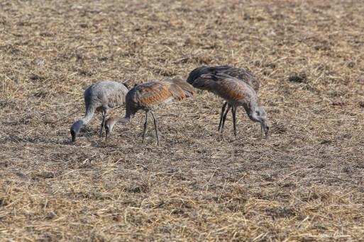 Colts, young cranes
