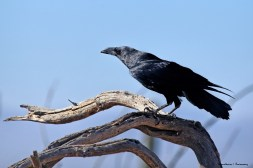 Chihuahua Raven