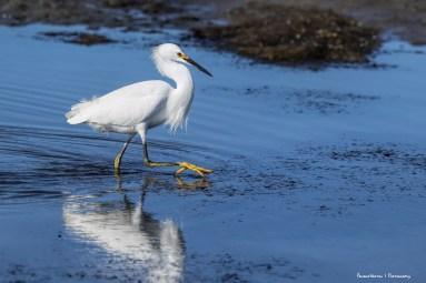 Snowy Egret, those feet!