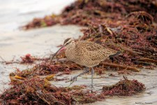 Long Billed Curlew pokes about the seaweed