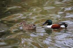 A beautiful pair of Northern Shovelers