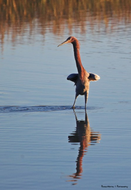 The Monty Python Silly Walk as interpreted by the Reddish Egret