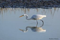 Great Egret just about to pounce...