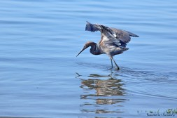 He/she uses it's wings to stop the glare to see the fish below the surface