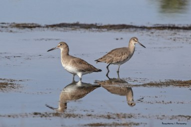 Bookend Willets