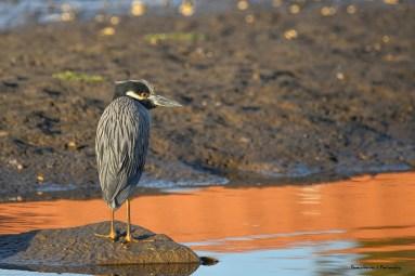 The henchman;) Yellow Crowned Night Heron