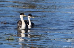 A Western Grebe couple