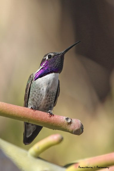 A Costa's hummingbird keeping watch over the treasured feeder