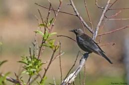 Mrs. Brewers Blackbird