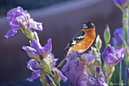 Mr.Black Headed Grosbeak
