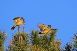 Western Kingbirds yelling as usual;)