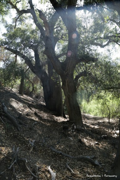 California Live Oaks