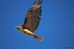 Red Tail Hawk-missed his wing by...that...much!;)