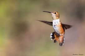 Allen's Hummingbird the Mrs. could be a Rufous, I have a hard time telling the females apart!