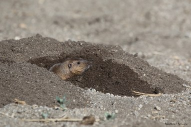Pocket Gopher-Bobcat food;)