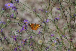 American Painted Lady and Asters