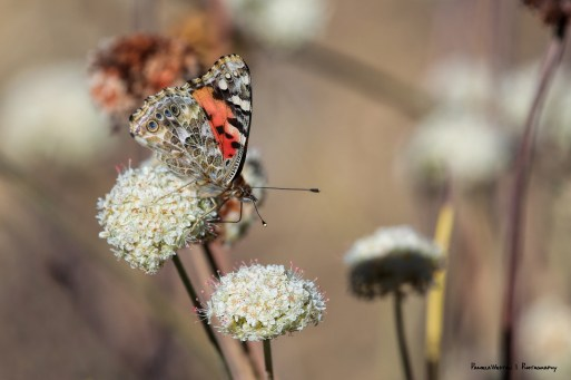 American Painted Lady feeding on Wild Buckwheat