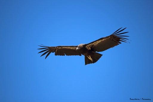 Juvenile California Condor