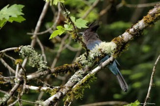 The moss and lichen is amazing, the Stellars Jay was not co-operating:)