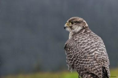 Peregrine Falcon, handler said it was his favourite bird.