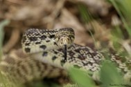 Fabulous markings on this beautiful snake!