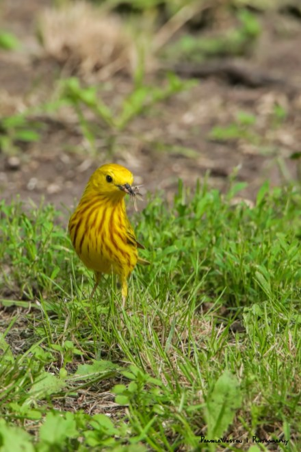 Yellow Warbler and breakfast