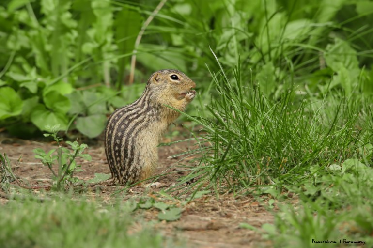 Let me finish this sunflower seed-Thirteen LIned Ground Squirrel