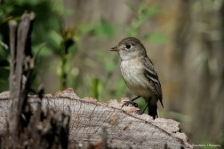 Least Flycatcher, bummer of a name for such a lovely bird;)