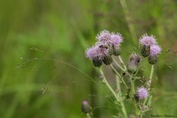 Thistles blooming