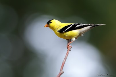 Our resident Goldfinches