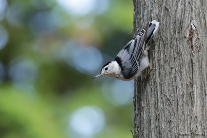 The ever chatty White Brestaed Nuthatch