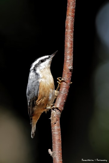 Red Breated Nuthatch