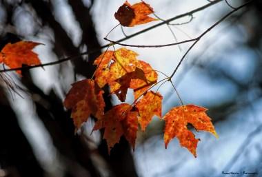 Maples glow