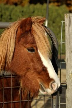 Annie the pony