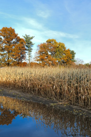Corn maze and reflections