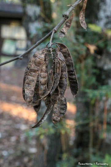 Beautiful seed pods