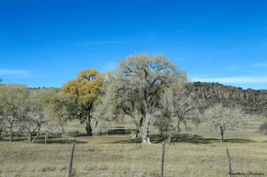 Beautiful old sycamores by the Fort-in Fort Davis