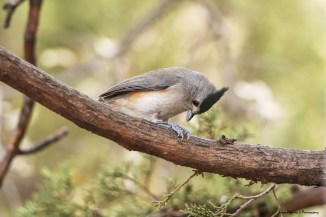 Black Crested Titmouse, yes those are my feet!