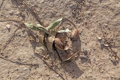 Pecans fallen to the ground