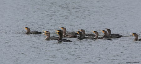 Double Crested Cormorants-Santee Sychronized Swimming Team
