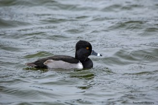 Mr. Ring Necked Duck